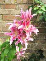 Garden Lilies 110730_1-TN
